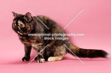 tortoiseshell Exotic Shorthair cat