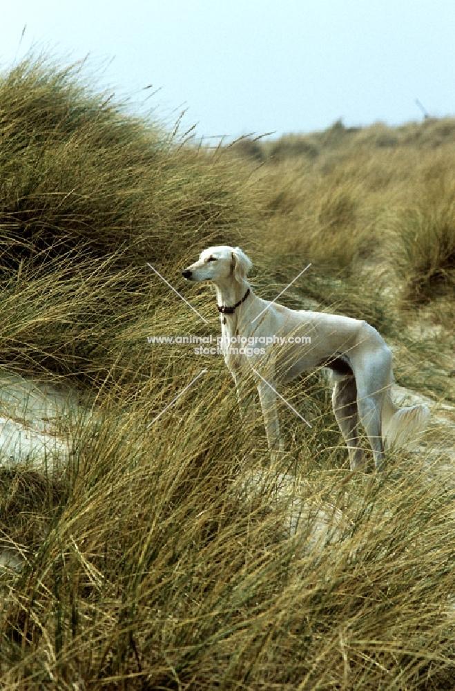saluki on sand dunes