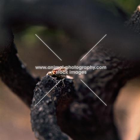 lava lizard on jervis island, galapagos islands