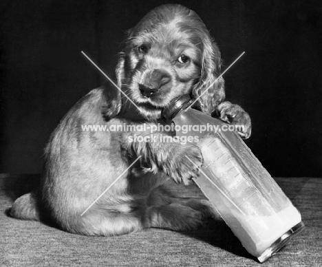 Cocker Spaniel puppy with bottle