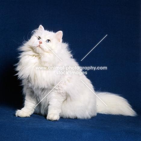 blue eyed white long hair cat looking for dinner