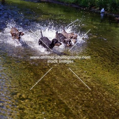 miniature wirehaired dachshunds running through water