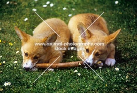 two pembroke corgi puppies chewing their stick