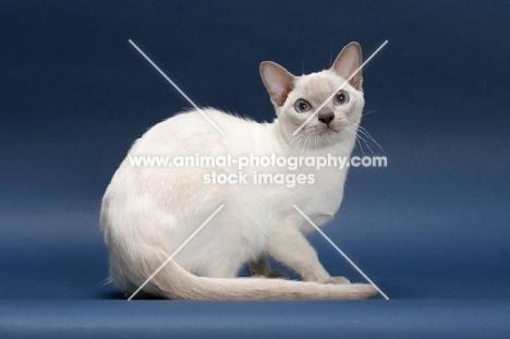 Tonkinese cat on blue background