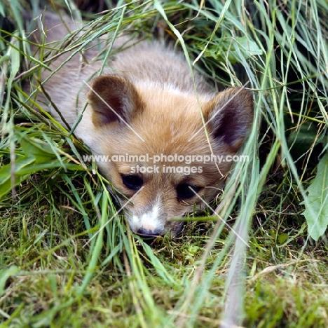 pembroke corgi puppy lying in long grass