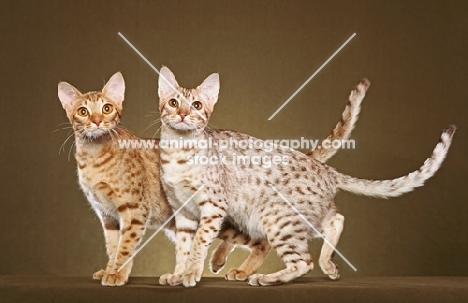 two Ocicats looking towards camera