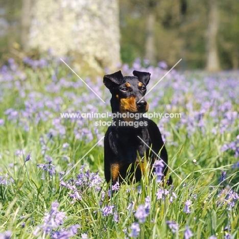 keyline gloriana, manchester terrier among bluebells