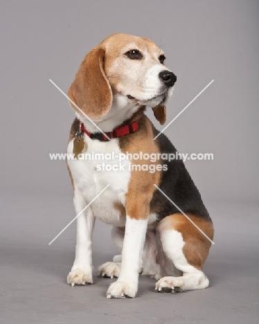 Beagle on grey background