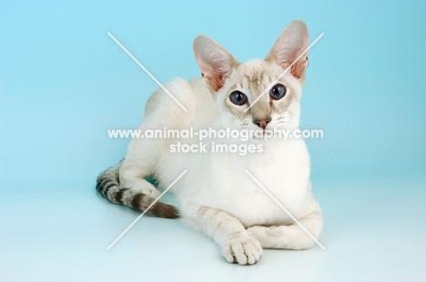 caramel point siamese cat, lying down