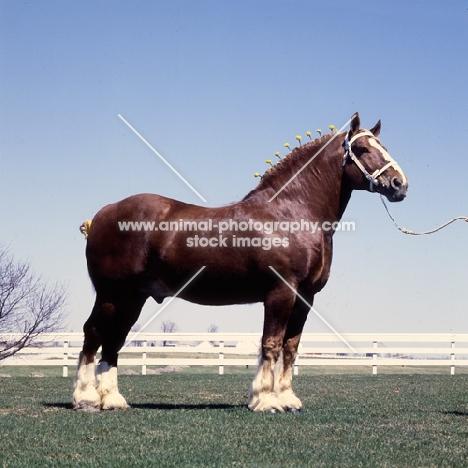 Illini Masterpiece, American Belgian stallion in usa