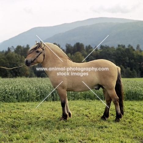 Maihelten 1692, Fjord Pony stallion in Norway