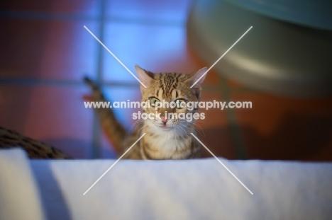 young Bengal cat waiting in ambush
