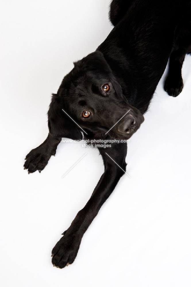 Black Labrador shot from above in the studio