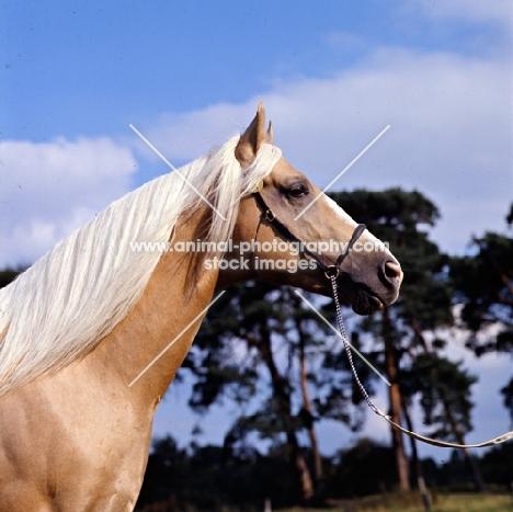 palomino stallion in uk, head study
