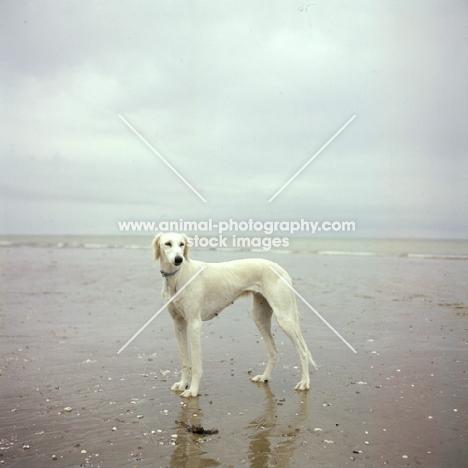 saluki on beach