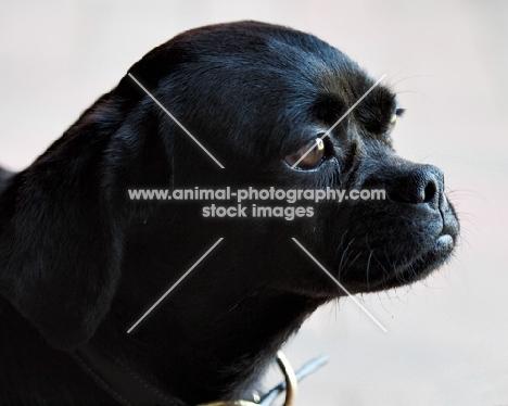 black dog portrait against pale background