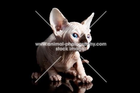 sphynx kitten on black background
