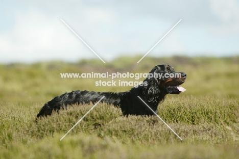 Gordon Setter in field