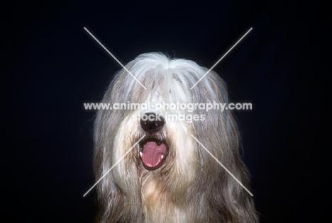 ch exhibition de gouth-noire,  bearded collie head study