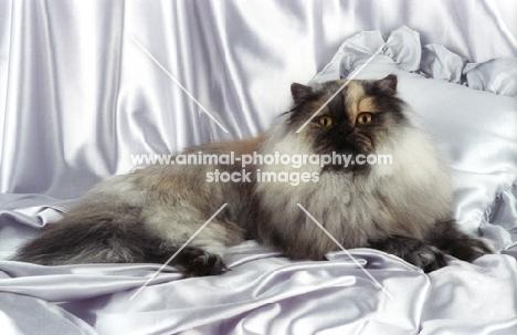 tortie smoke persian cat, lying on pillow