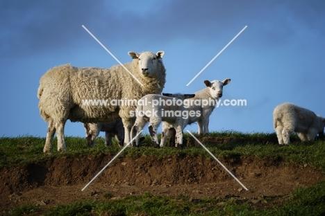 Texel cross ewe & crossbred lambs