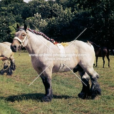 Bart van Wyngaarden, Dutch Draught Horse, full body