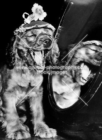 English Cocker Spaniel puppy laughing at mirror