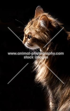 Domestic shorthair cat on black background