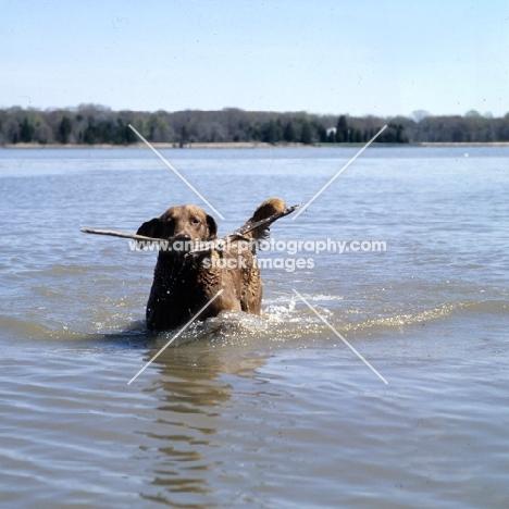 chesapeake bay retriever with stick on chesapeake bay usa