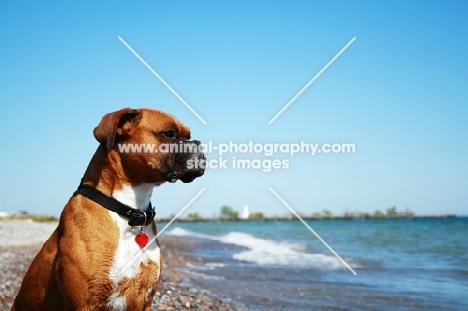 Boxer watching waves