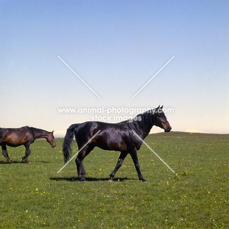 Arbich, Kabardine stallion in caucasus