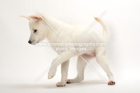 Kishu puppy standing on white background