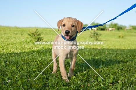 Labrador puppy on lead