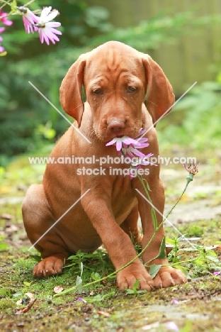 Vizsla puppy smelling flower