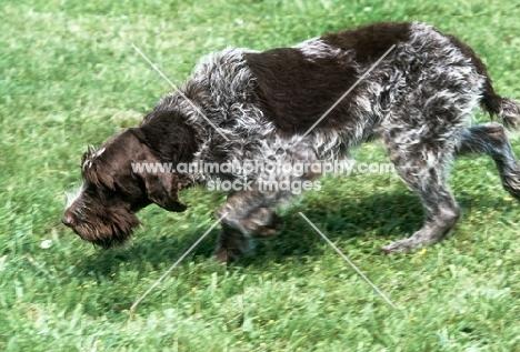 axius, korthals griffon, trotting purposefully, nose to the ground