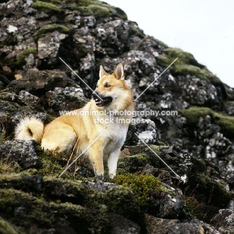 iceland dog on lava at gardabaer, iceland