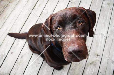 Chocolate Labrador on deck