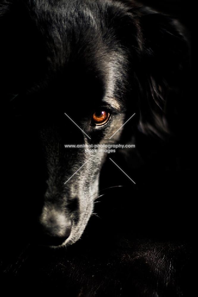 Black dog resting head on dark couch