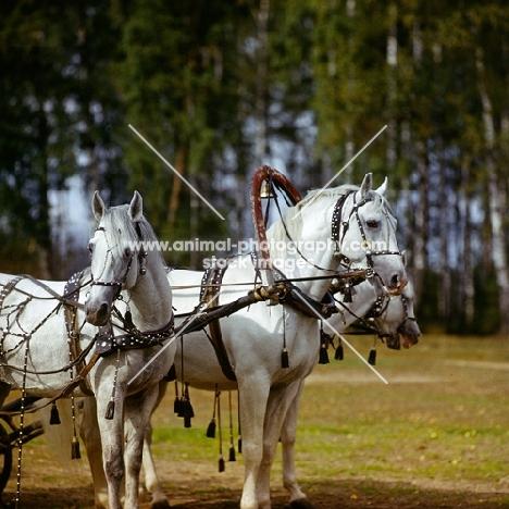 three orlov trotters harnessed in troika