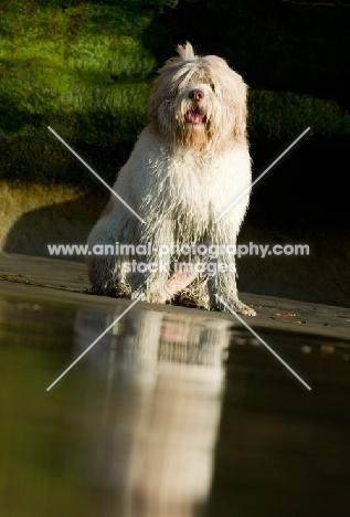 Polish Lowland Sheepdog (aka polski owczarek nizinny) sitting near shore