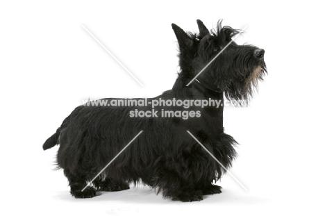 black Australian Champion Scottish Terrier, side view