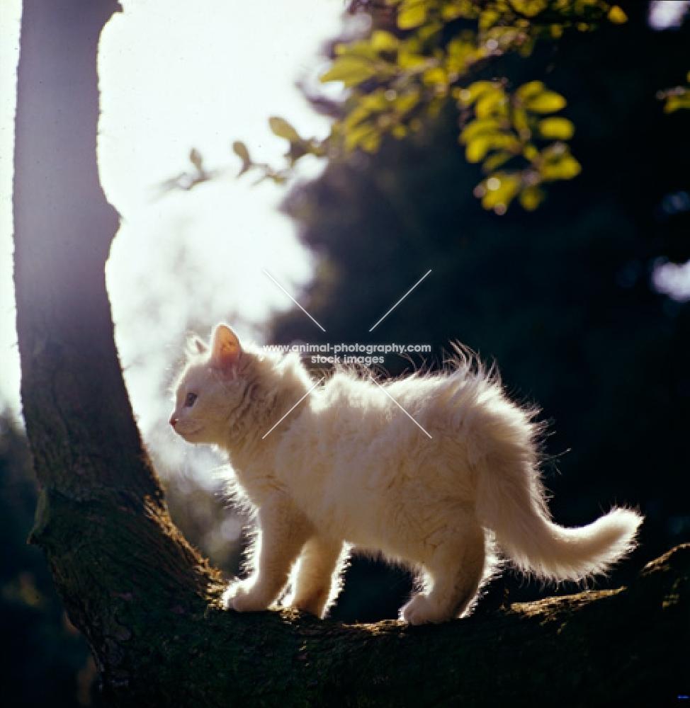 orange eyed white kitten side view, backlit