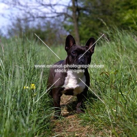 ch merrowlea opal of boristi,   french bulldog standing in long grass