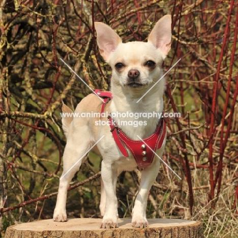 Chihuahua dog standing on tree stump