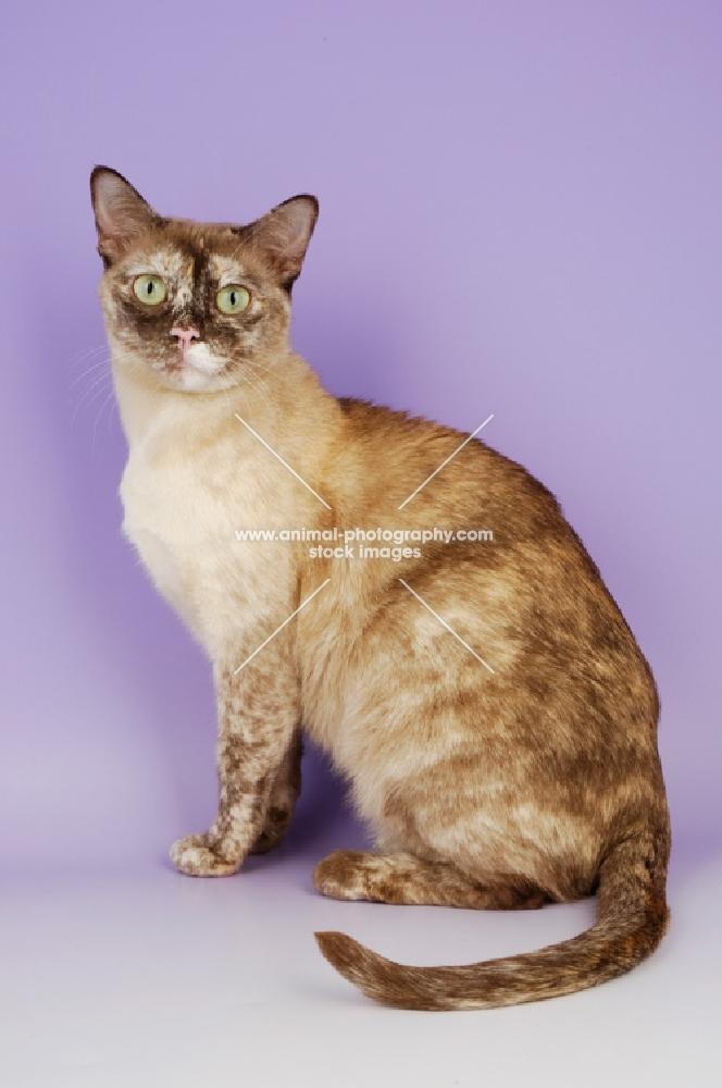 Tortoiseshell Breed Cat
