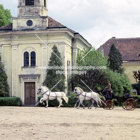 four kladruber horses driven past old kladruby buildings