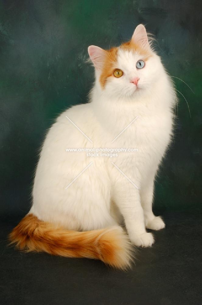 08f79739036227 odd-eyed turkish van cat sitting down