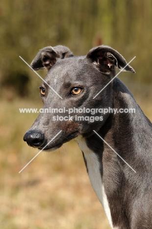 grey Greyhound