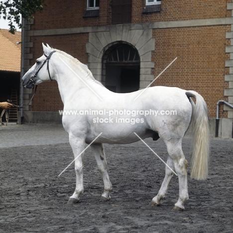 Duktus Hanoverian stallion at Celle