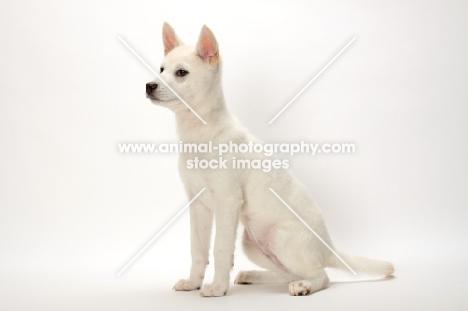 Kishu puppy sitting down